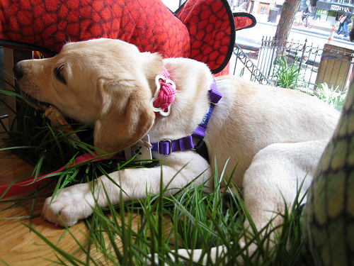 Harley in fake grass with duck's foot
