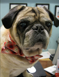 Fashion Friday: Zip the Pug Sports a Bow Tie