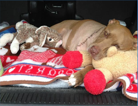Postponed: St. Lilly-tines Day with Lilly the Hero Pit Bull
